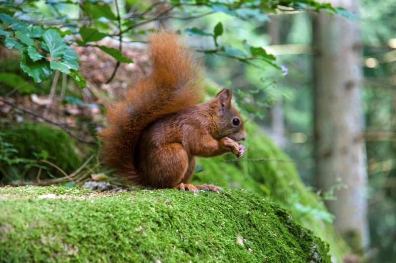 Red Squirrel at Powerscourt
