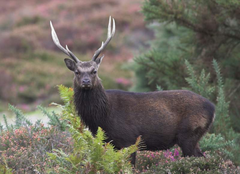 Sika Deer at Powerscourt